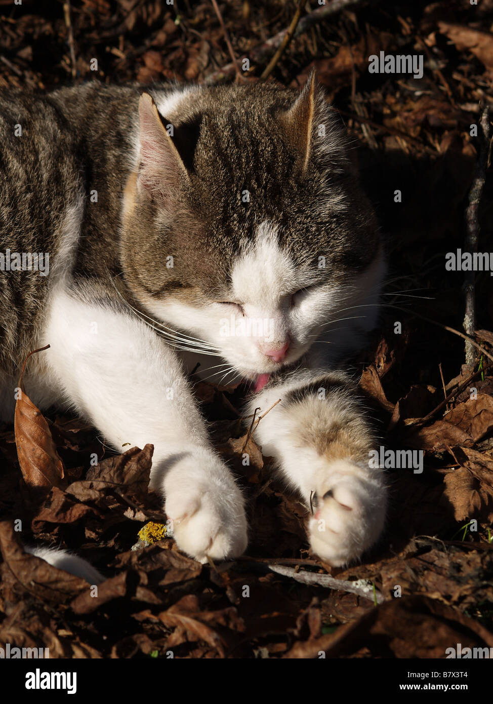 A cat lapping himself - Stock Image
