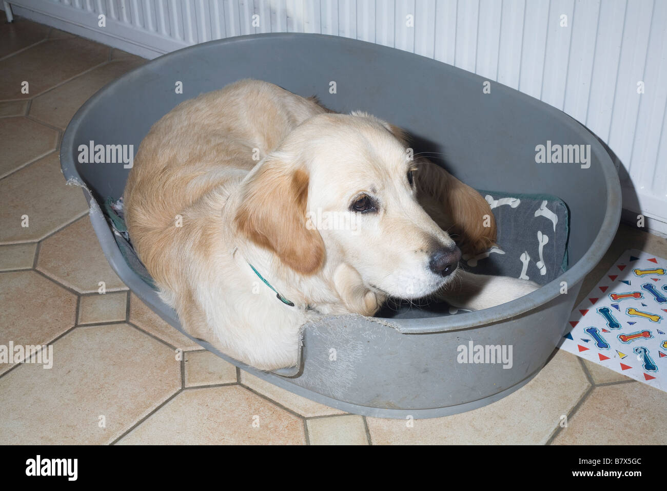 In December Xylo, a golden retriever puppy, makes himself comfortable in grey plastic basket bed - Stock Image