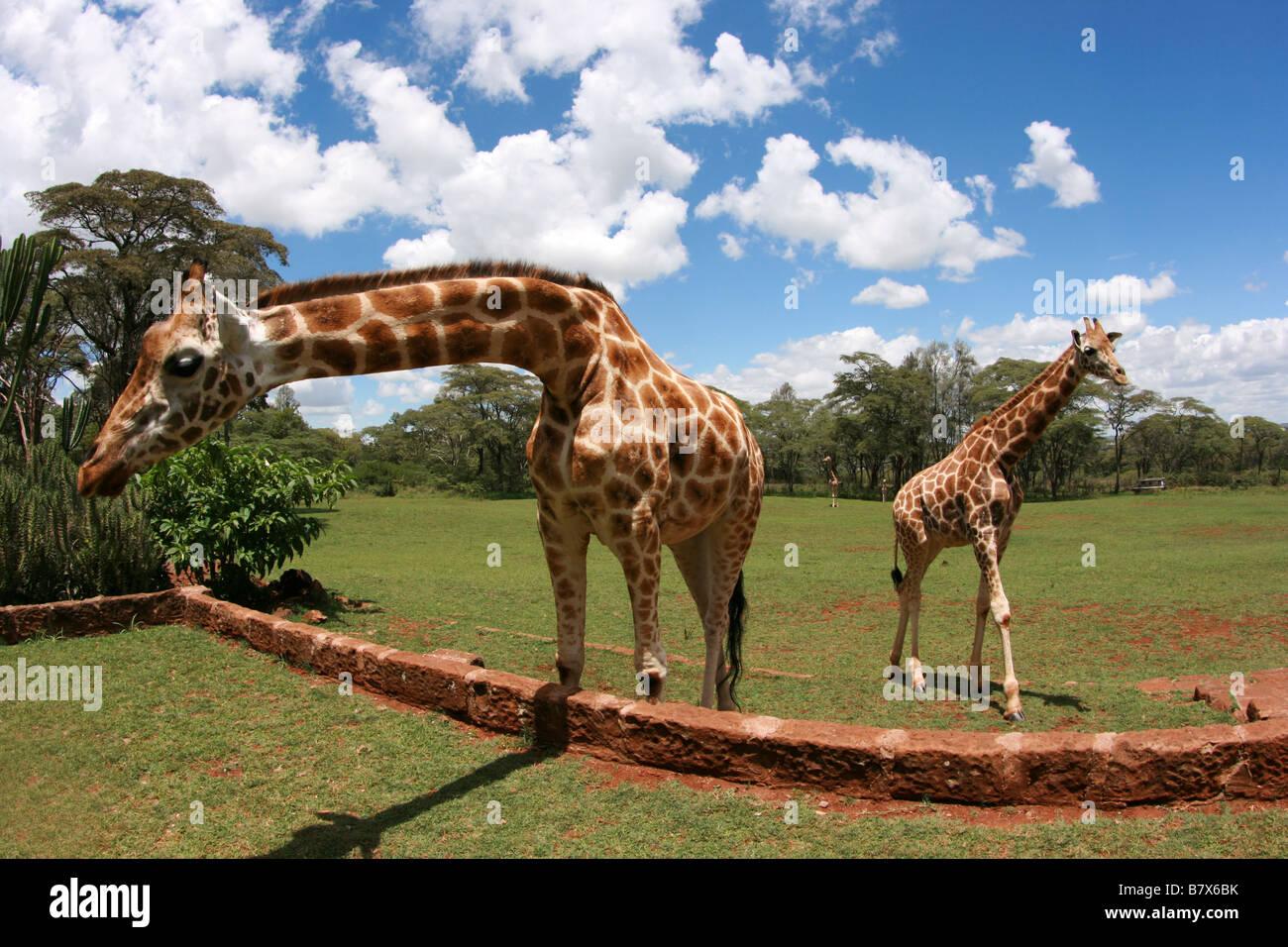 Rothschild Giraffe,Giraffa camelopardalis rothschildi,Giraffidae, Coat, Hair,Ungulate, Mammal, Horns, Long Neck, - Stock Image