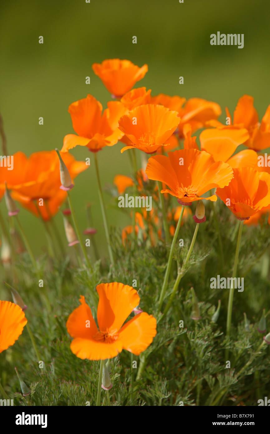 A bunch of california poppy flowers in a field stock photo 22089453 a bunch of california poppy flowers in a field mightylinksfo
