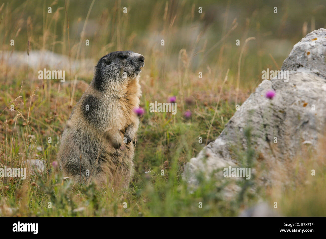Marmot, Marmota, Sciuridae, ground squirrel, rodent, Mountains, Alps, Apennines,Gran Paradiso,National Park, Italy - Stock Image