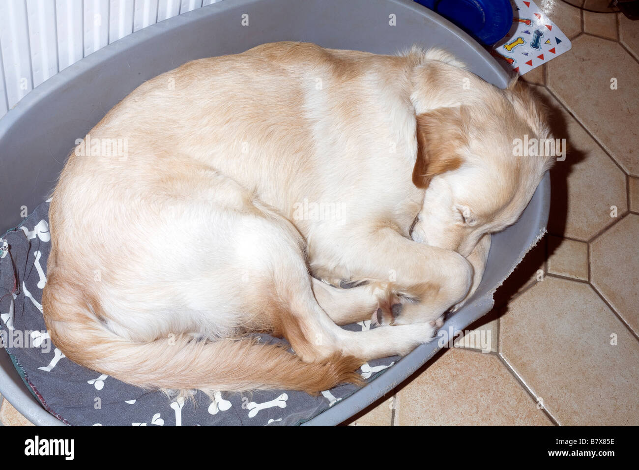 9 month old golden retriever Xylo curls up asleep in his bed - Stock Image