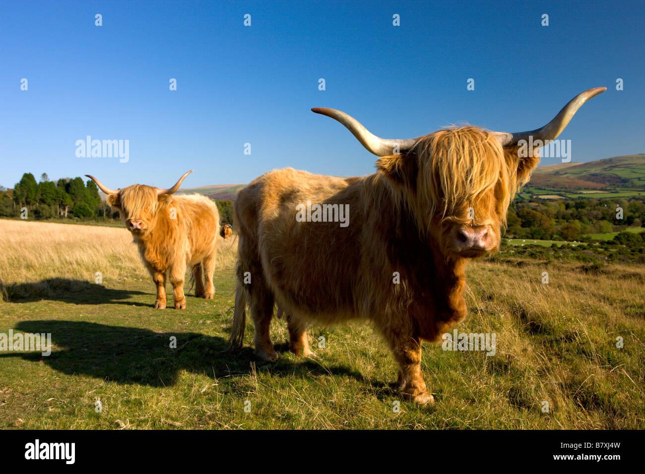 Highland Cattle grazing on Dartmoor National Park Devon England - Stock Image