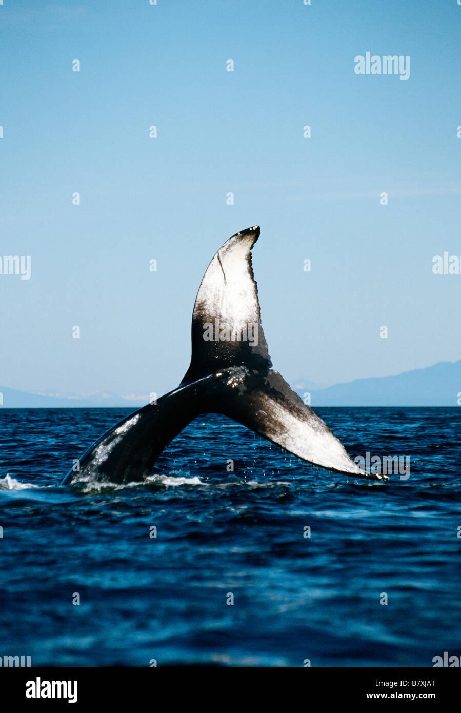Humpback whale lobtailing, Chatham Strait, Southeast Alaska - Stock Image