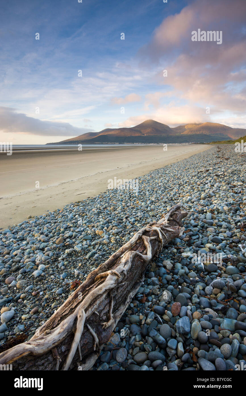 Drfitwood on Dundrum Bay looking towards the Mountains of Mourne County Down Northern Ireland - Stock Image