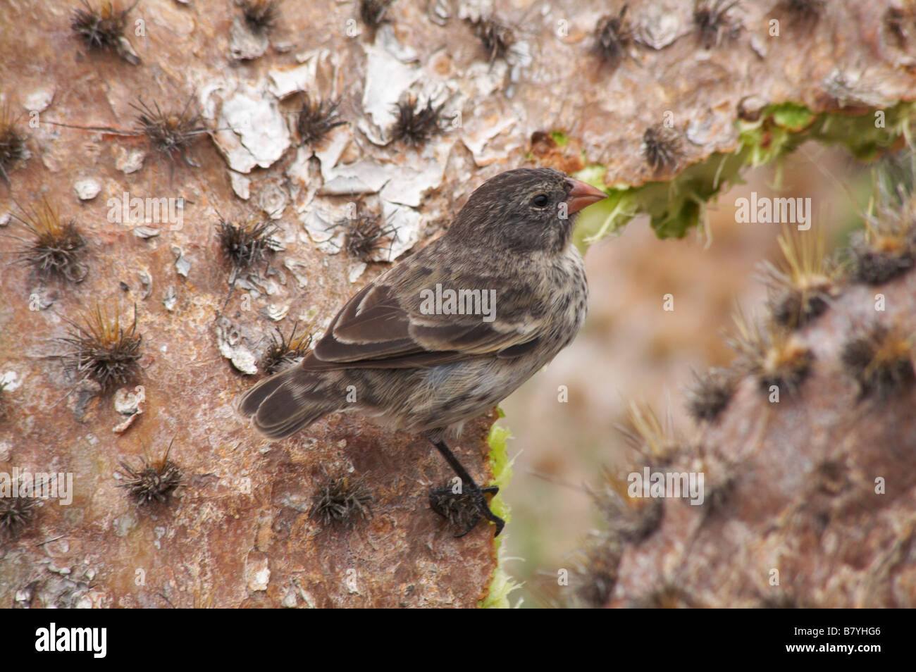 Cactus Ground Finch Geospiza scandens feeding on Giant droopy prickly pear cactus Opuntia spp echios var echios, - Stock Image