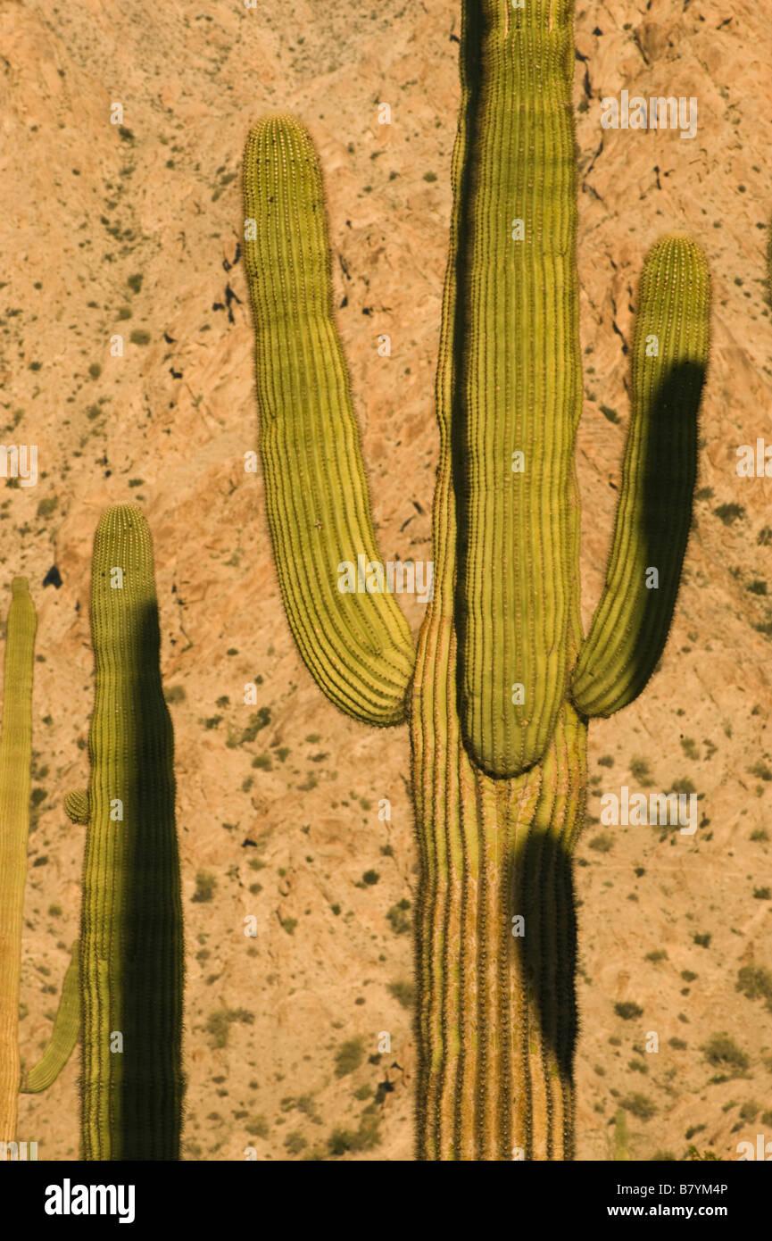 Saguaro Cactus (Carnegiea gigantea) Tinajas Altas Mountains, Dawn, Barry Goldwater Air Force Range, Arizona - Stock Image