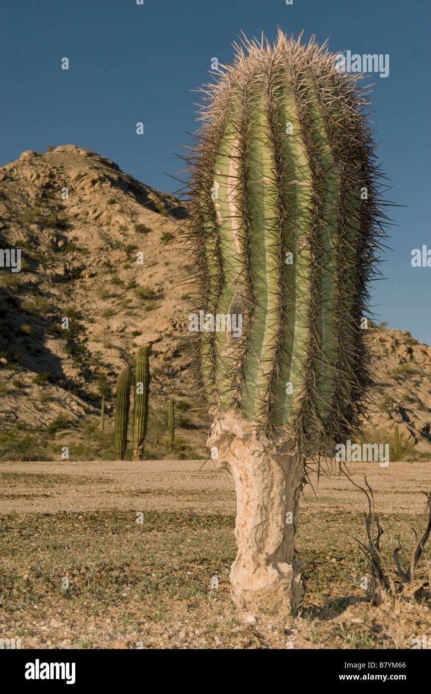 Saguaro Cactus (Carnegiea gigantea) Base of young eaten by Jackrabbits (or Desert Tortoises) Tinajas Altas Range, - Stock Image
