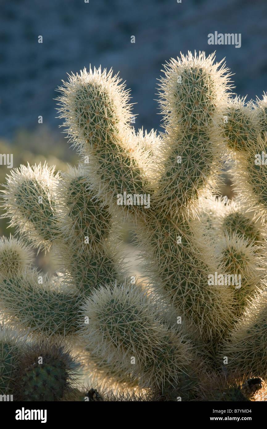 Teddy bear Cholla Cactus (Cylindropuntia bigelovii) Tinajas Altas Mountains, Barry Goldwater Air Force Range, Arizona - Stock Image