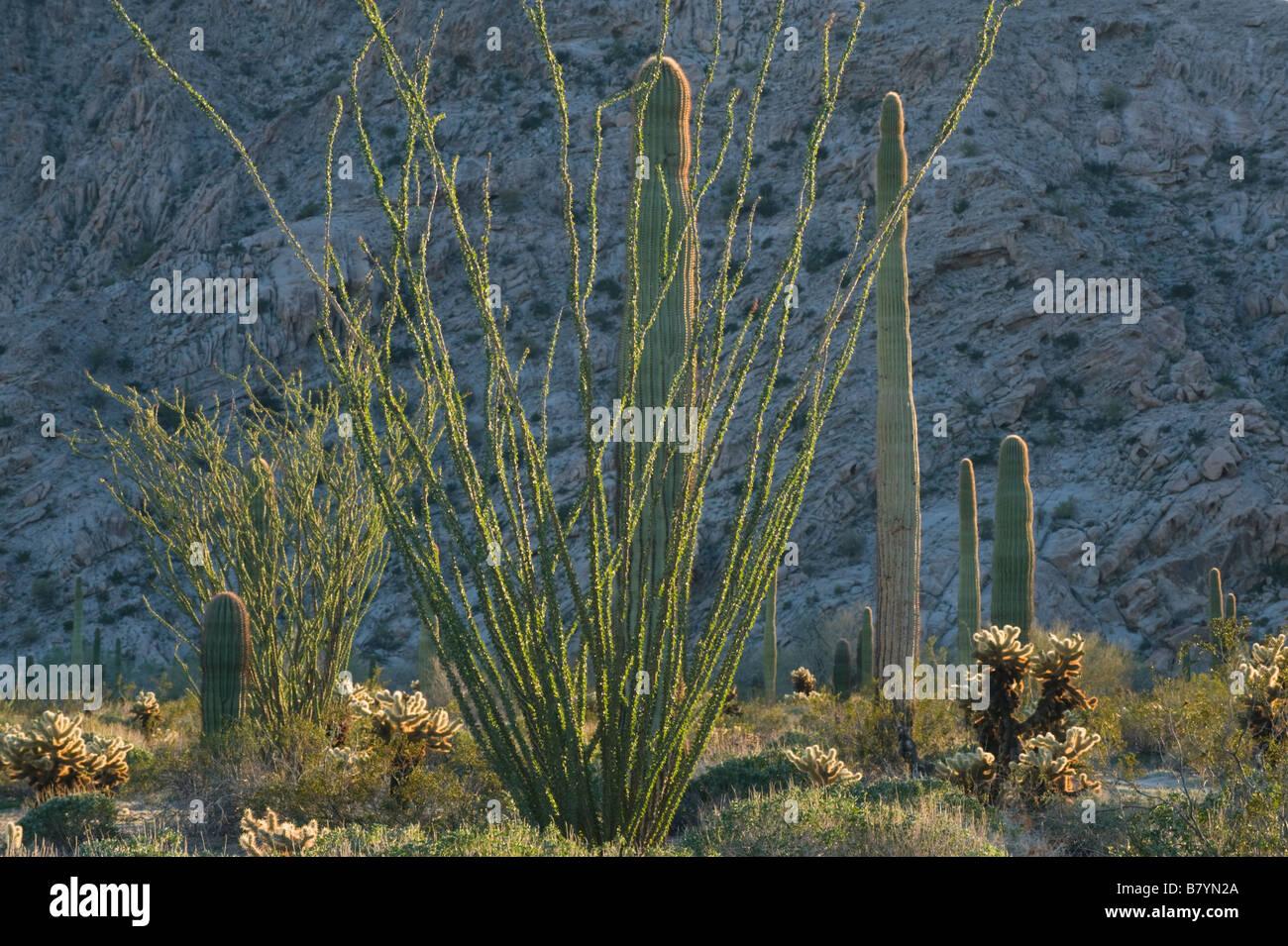 Desert Plants, (Ocotillo, Saguaro, Cholla Cactus) Tinajas Altas Mountains, Barry Goldwater Air Force Range, Arizona - Stock Image