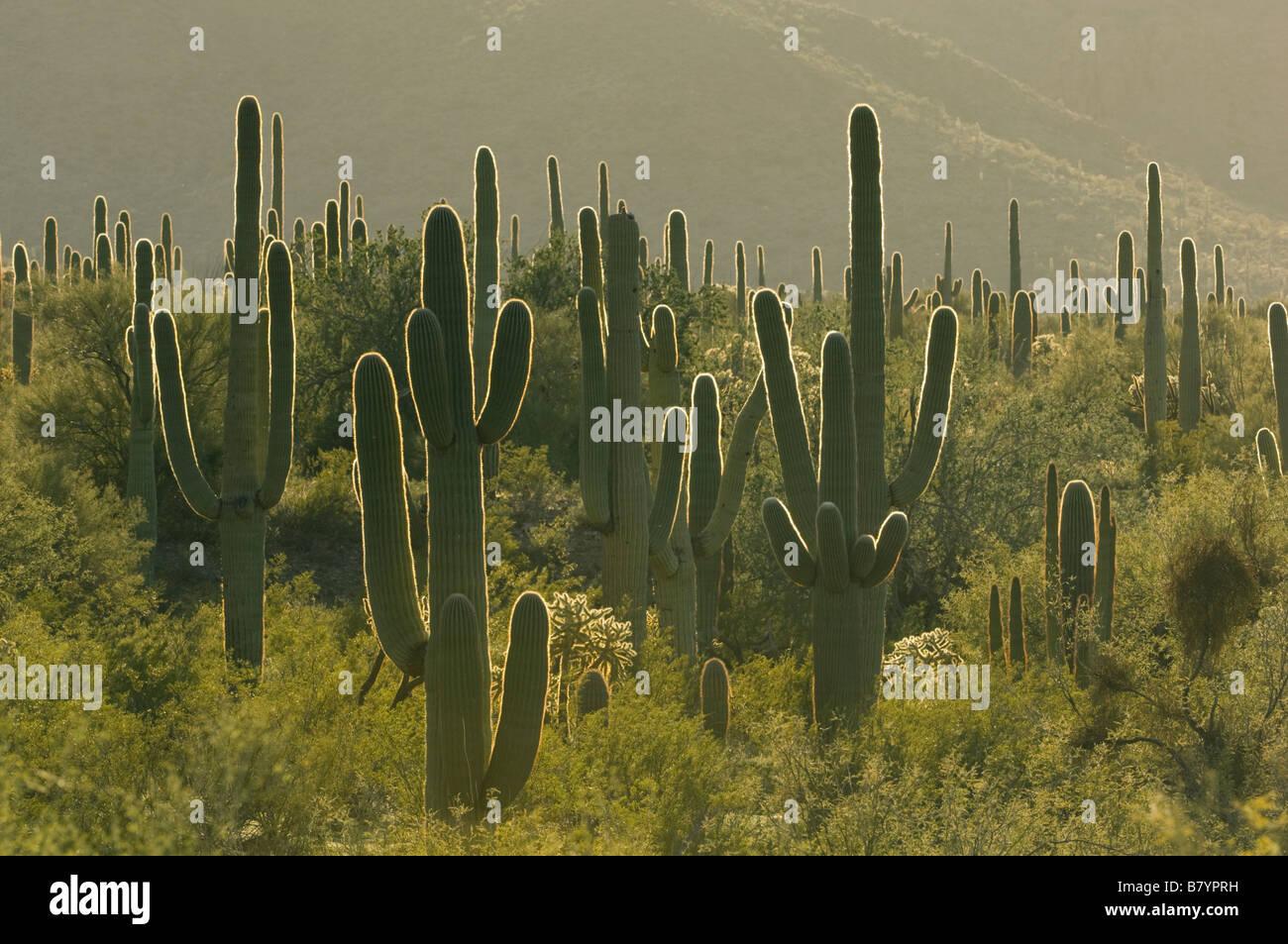 Saguaro Cactus (Carnegiea gigantea) at sunrise, Organ Pipe National Monument, Arizona - Stock Image