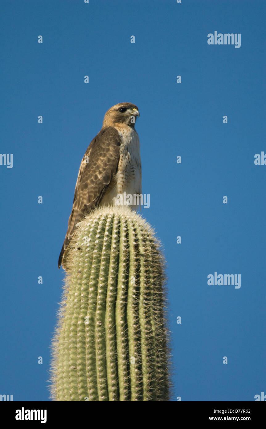 Red-tailed Hawk (Buteo jamaicensis) on Saguaro Cactus, Organ Pipe National Monument, ARIZONA - Stock Image