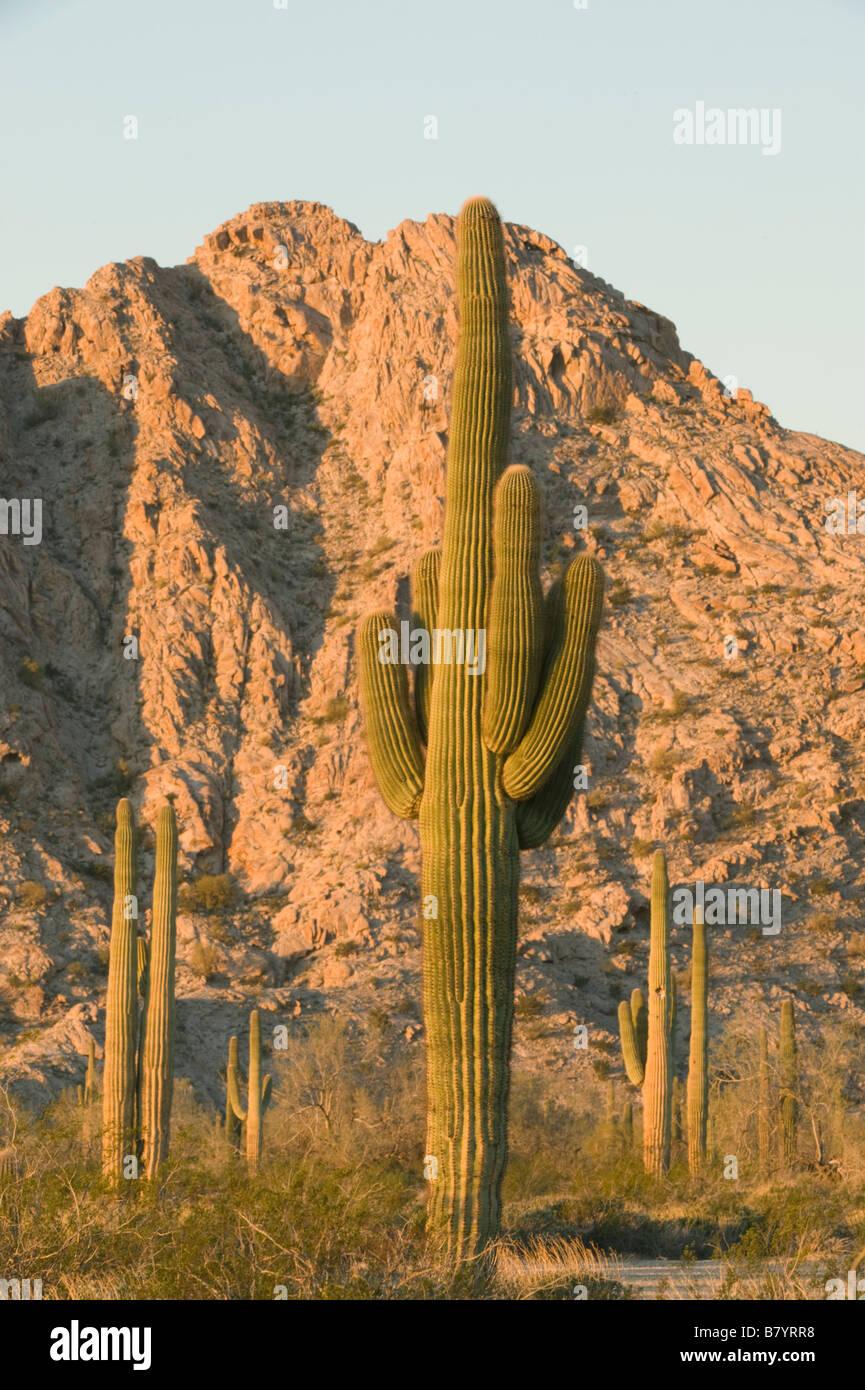 Saguaro Cactus (Carnegiea gigantea) Tinajas Altas Mountains, Barry Goldwater Air Force Range, Arizona - Stock Image
