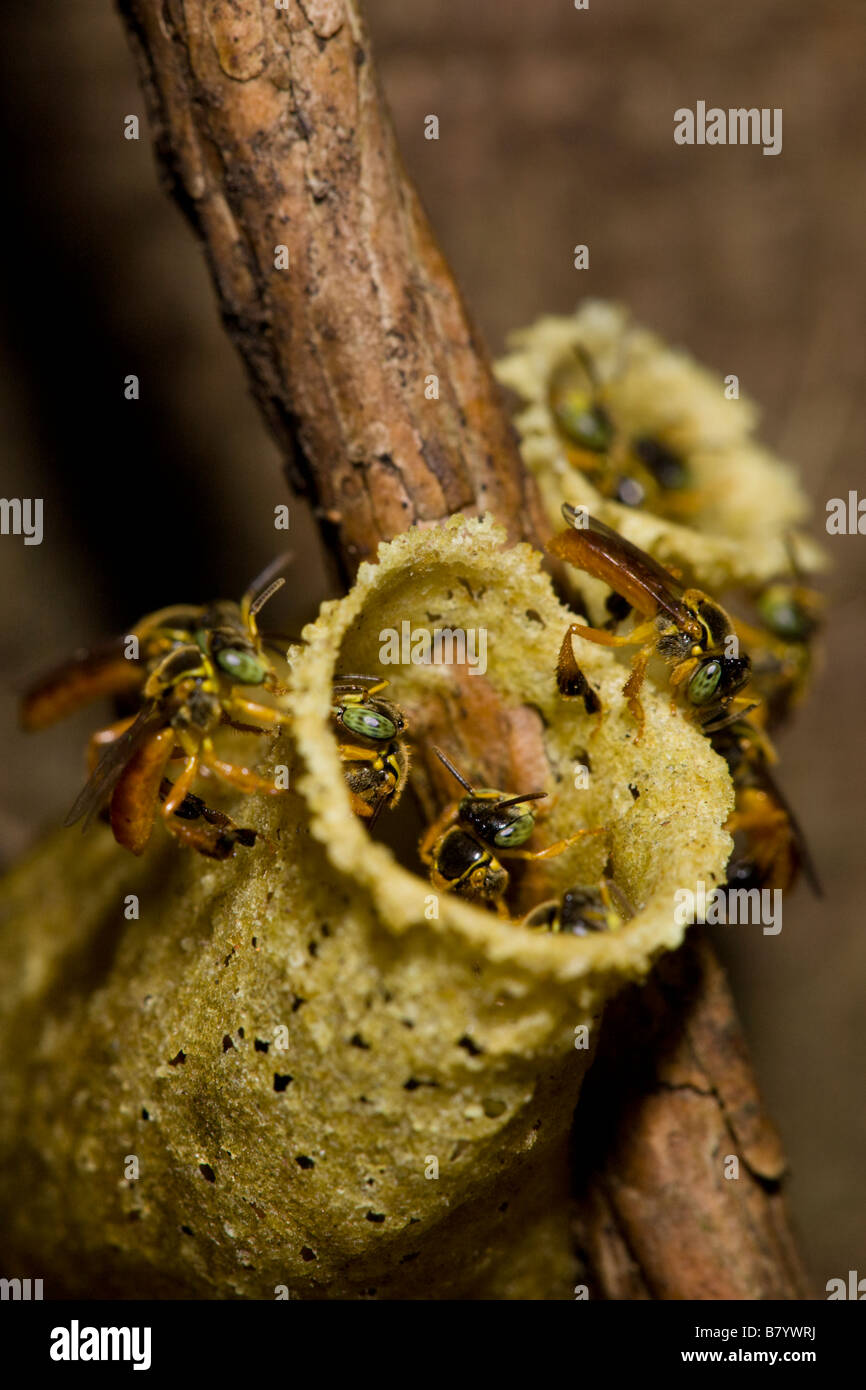 Stingless Bees (Trigona sp.) working at the entrance to their hive in the Rincon de la Vieja National Park, Guanacaste - Stock Image