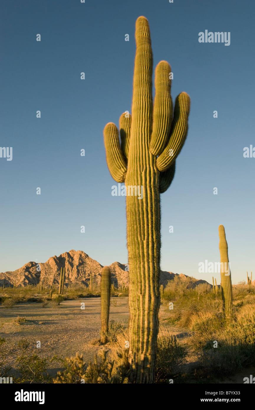 Saguaro Cactus (Carnegiea gigantea) Sunrise, Tinajas Altas Mountains, Barry Goldwater Air Force Range, Arizona - Stock Image
