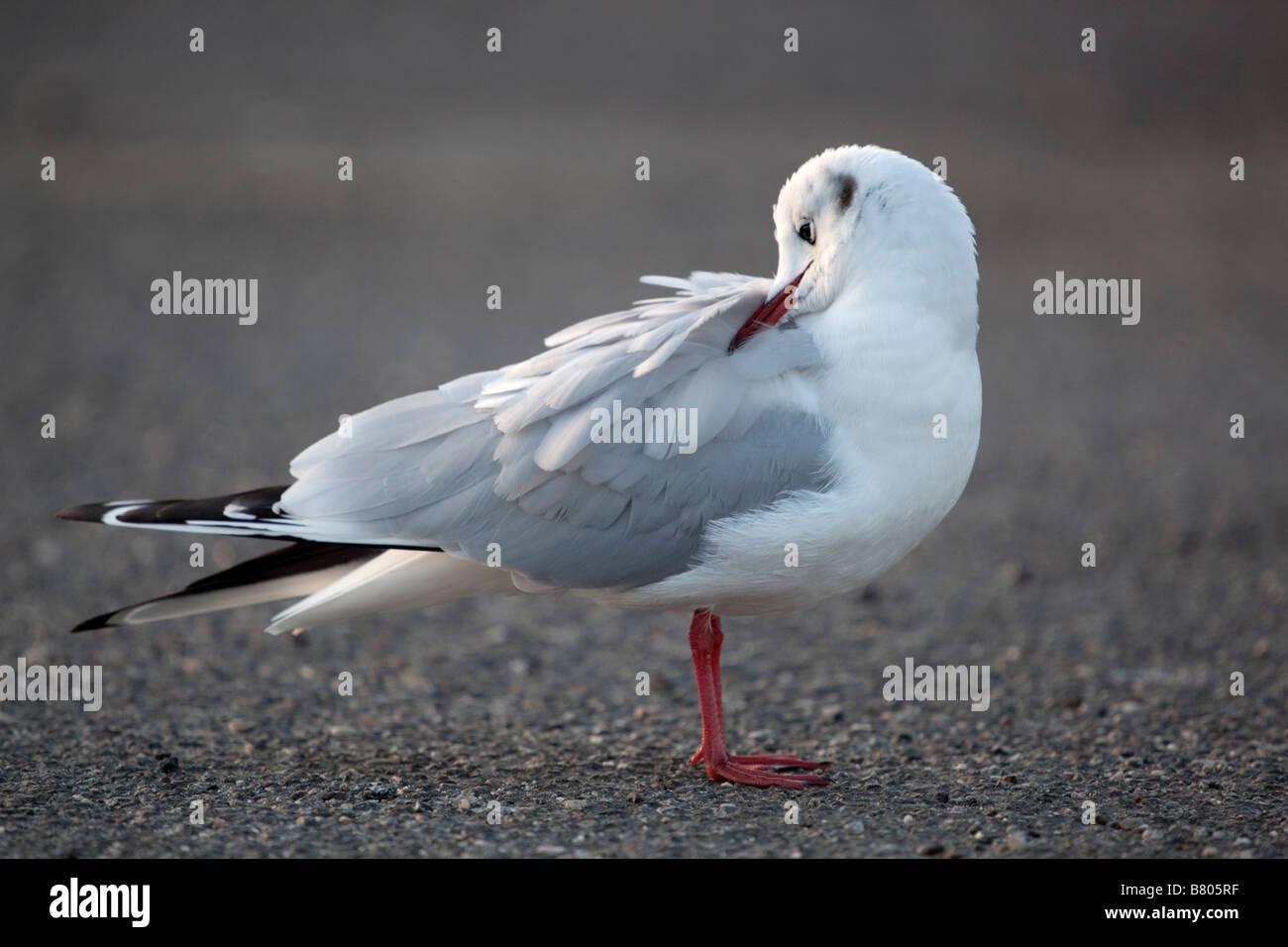 black headed gull Larus ridibundus preening Stock Photo