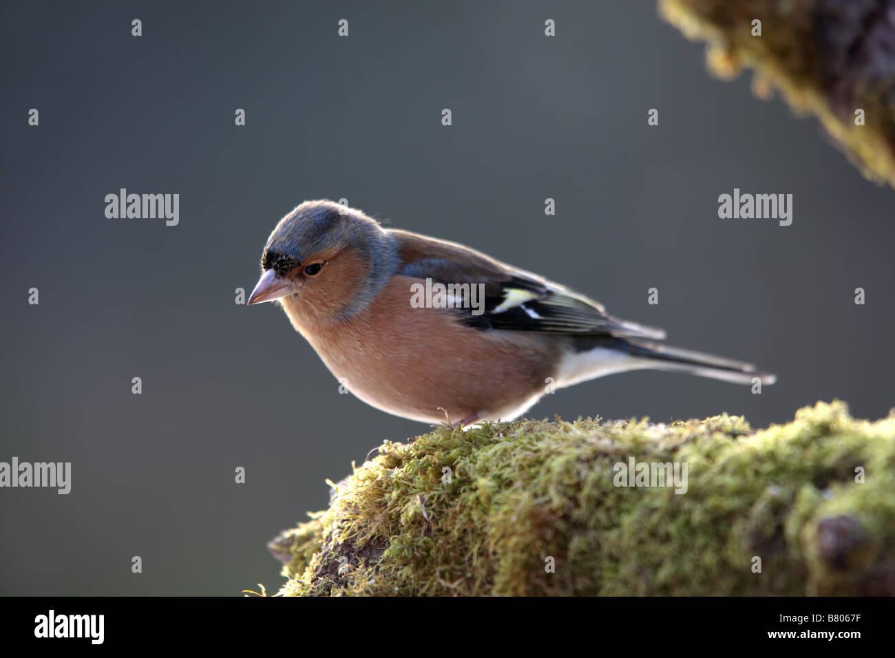 chaffinch Fringilla coelebs cornwall - Stock Image