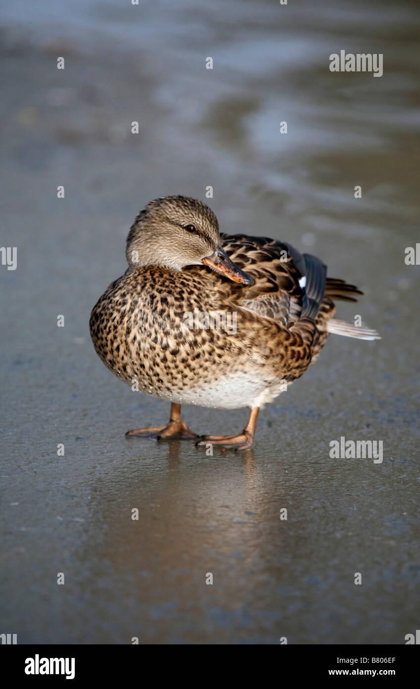 gadwall Anas strepera on ice - Stock Image