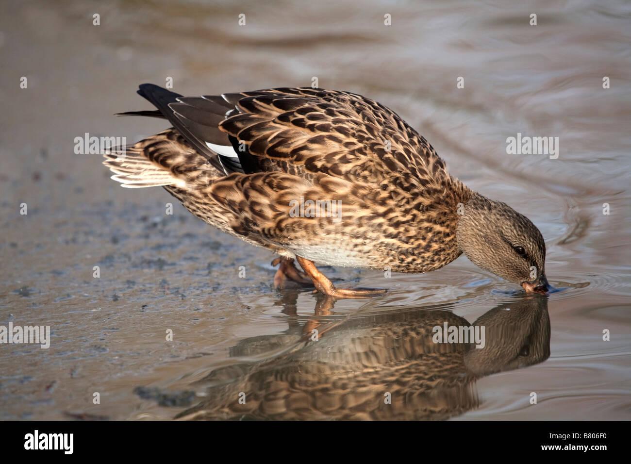 gadwall Anas strepera at water - Stock Image