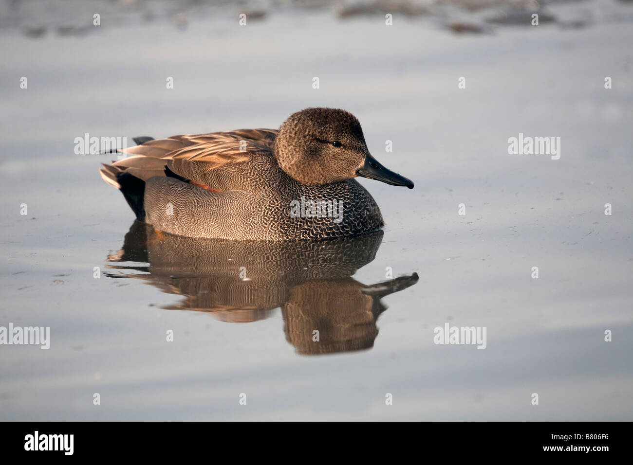 gadwall Anas strepera male on water - Stock Image