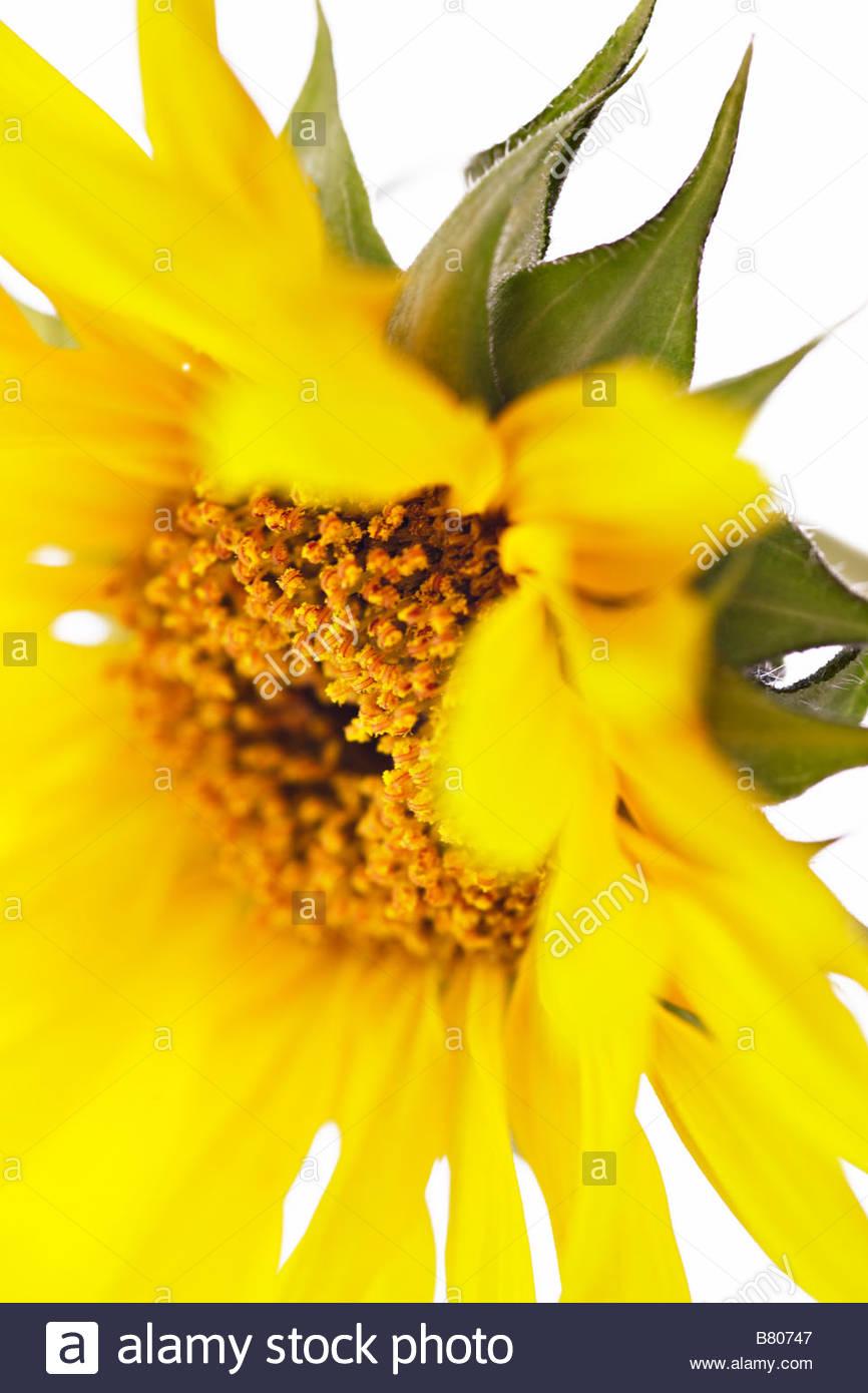 Helianthus annus - Sunflower - Stock Image