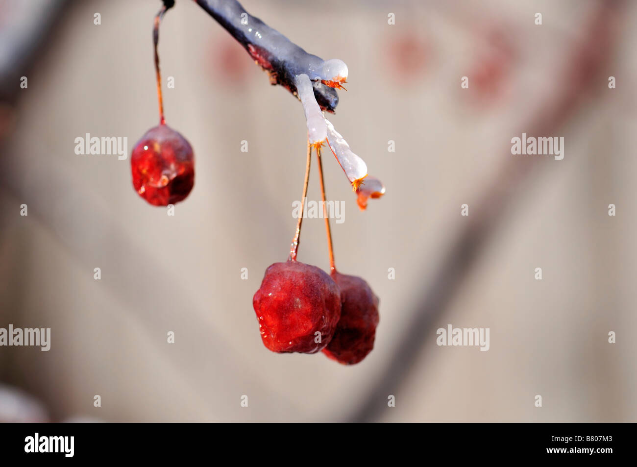 A closeup of crabapples covered in ice. Oklahoma, USA. Stock Photo