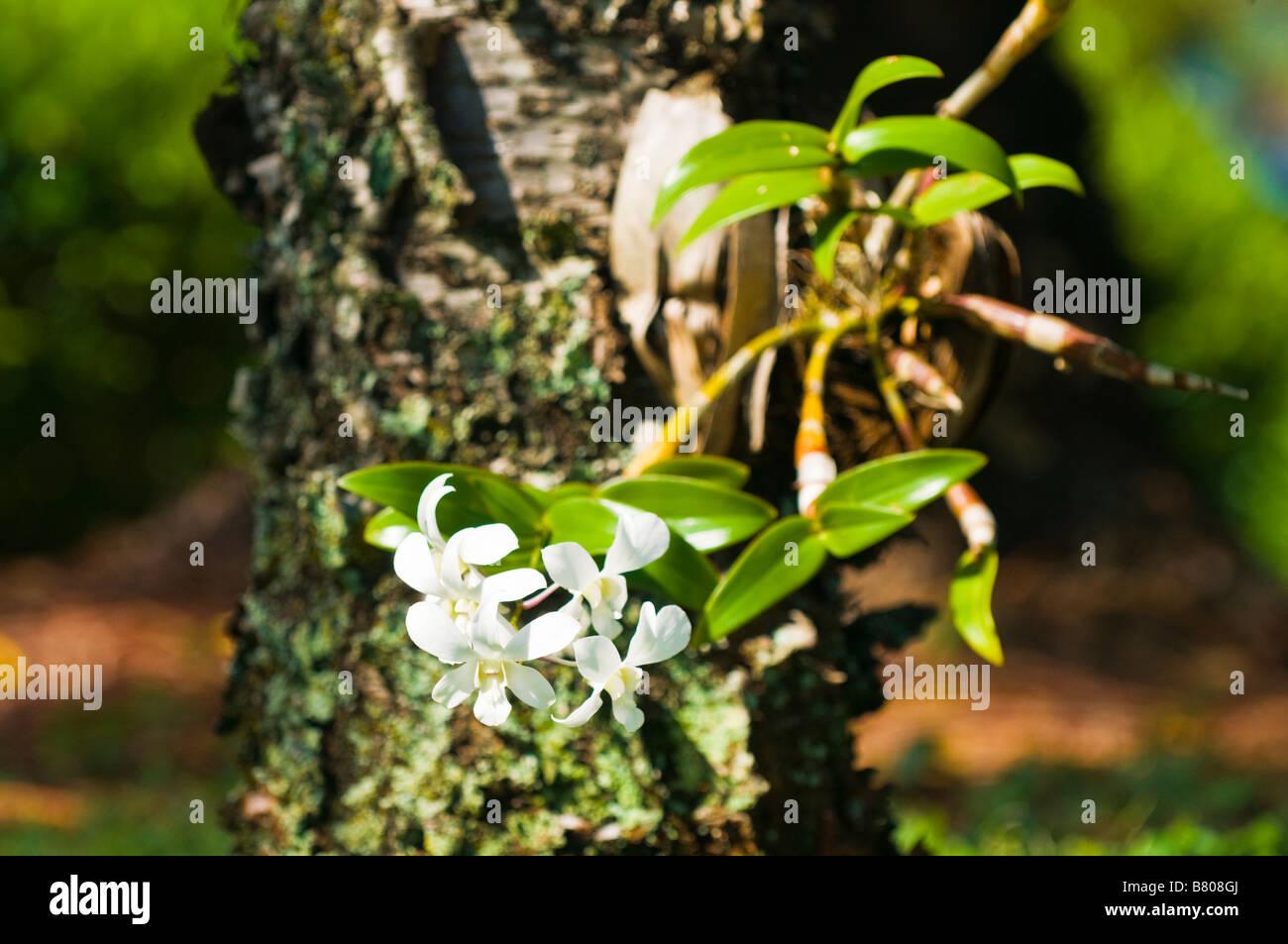 Hawaiian orchid tree stock photos hawaiian orchid tree stock orchid growing out of the trunk of a tree island of kauai hawaii stock image izmirmasajfo Images