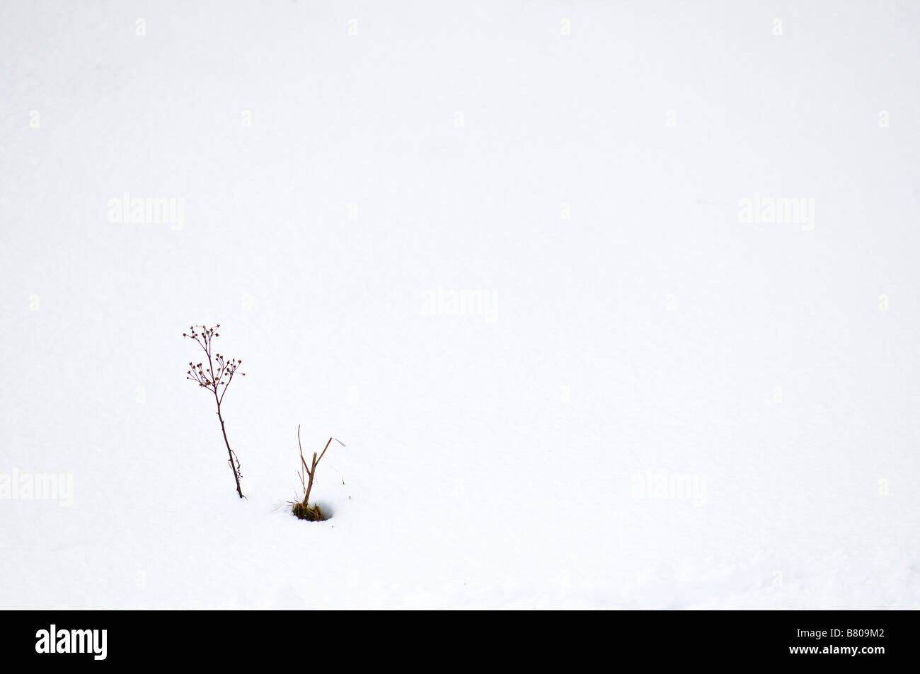 The remains of a dead plant standing in snow. - Stock Image