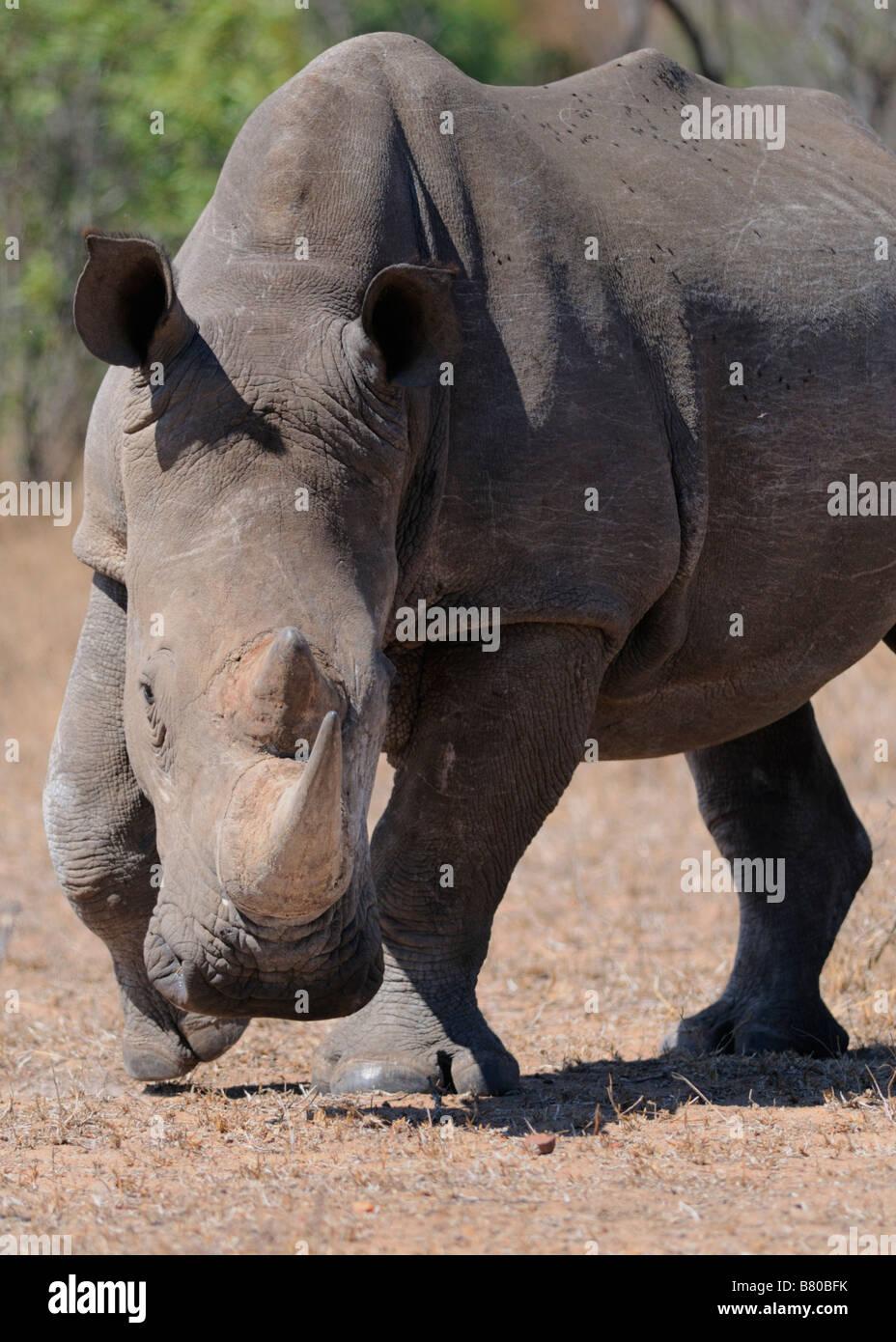 Rhino charge - Stock Image