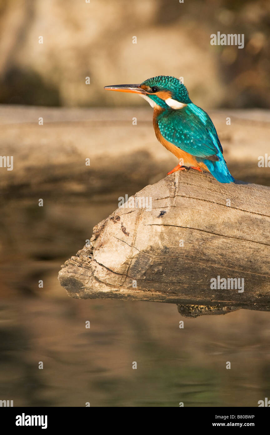 Common European Kingfisher perched on a log over a water well in the indian countryside. Andhra Pradesh, India - Stock Image