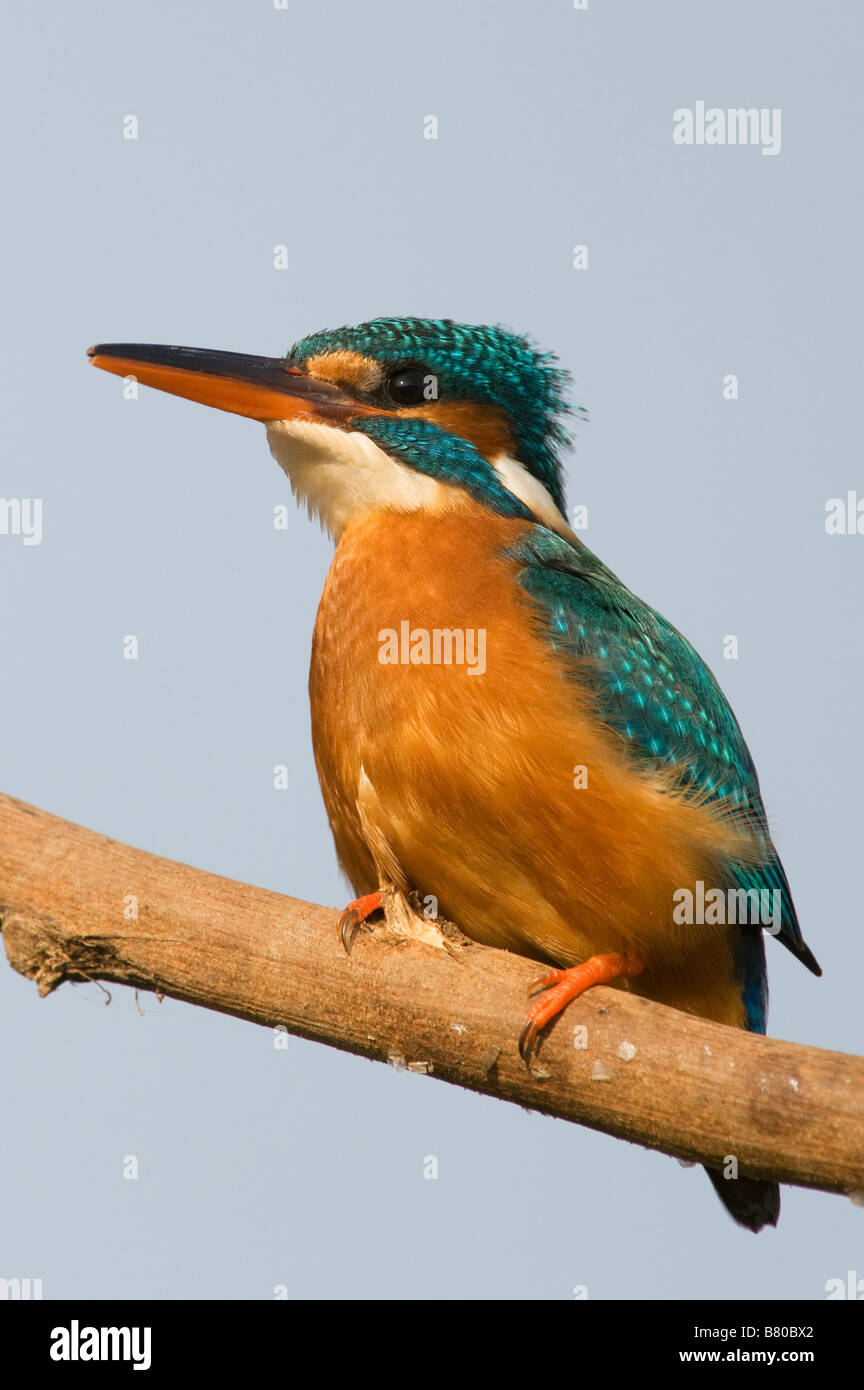 Common European Kingfisher perched on a stick over a water well in the indian countryside. Andhra Pradesh, India - Stock Image