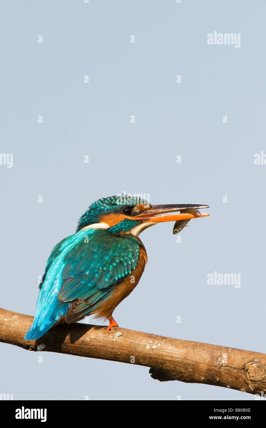 Common European Kingfisher perched on a stick with a fish in its beak, over a water well in the indian countryside. - Stock Image
