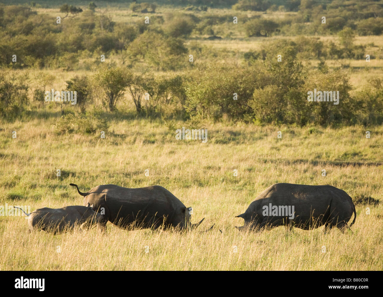 A Black Rhinoceros with her calf challenging the bull in the Masai Mara in Kenya - Stock Image