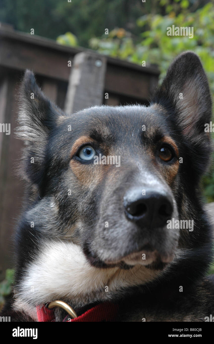 blue eye german shepherd a german shepherd dog alsatian mutt with one blue eye 2186