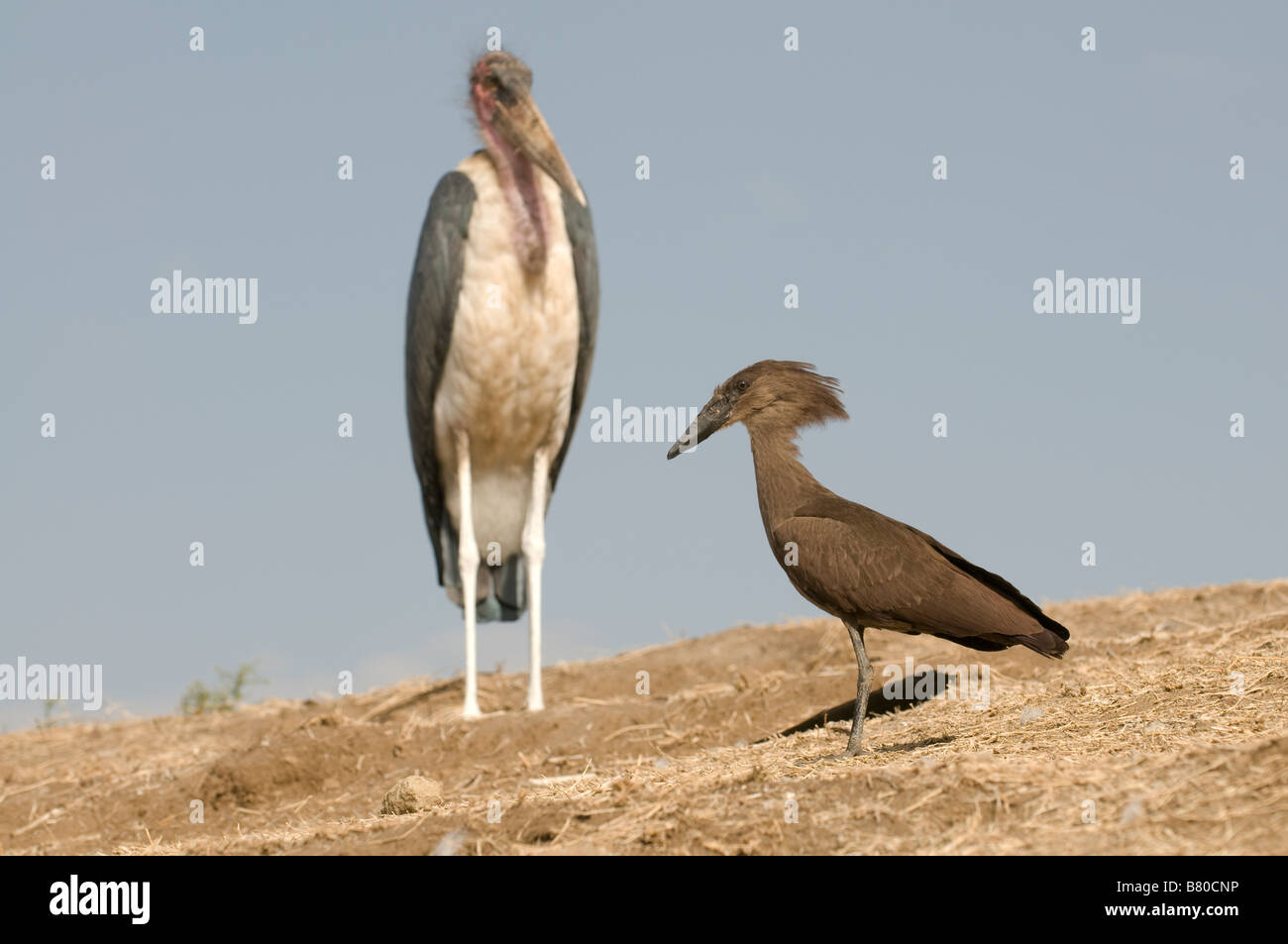 Marabou and Hammerhead standing togehter lake Awasa Ethiopia Africa - Stock Image