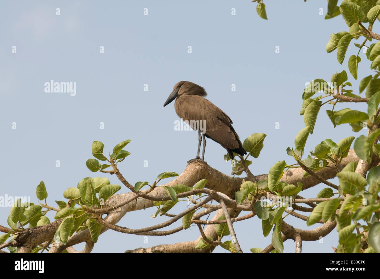 Icebird Awasa Ethiopia Africa - Stock Image