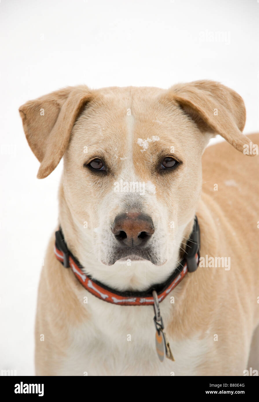 Yellow Labrador Mix Stock Photos Amp Yellow Labrador Mix