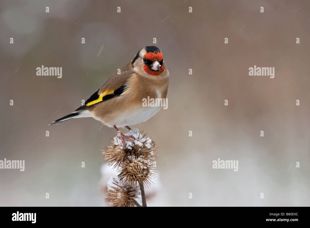 Goldfinch on thistle with snow - Stock Image