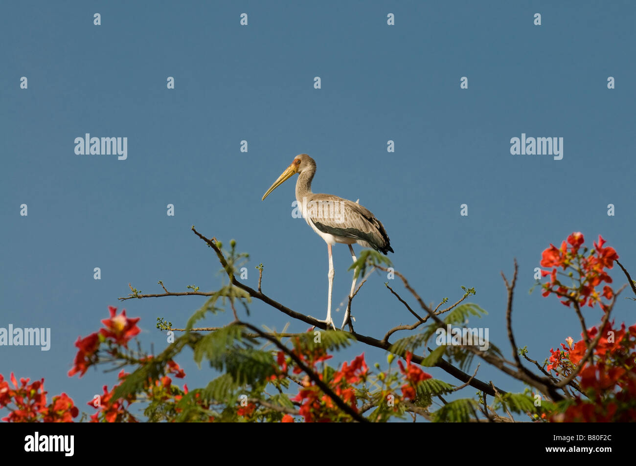 Baby stork standing on top of a trip Nechisar National Park Ethiopia Africa Stock Photo