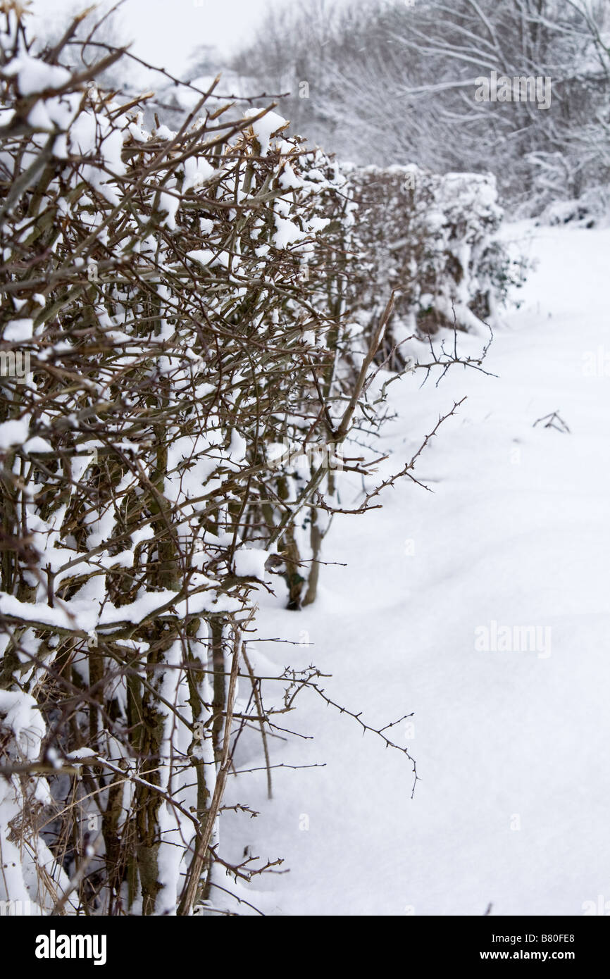 A snow-covered hedge. - Stock Image