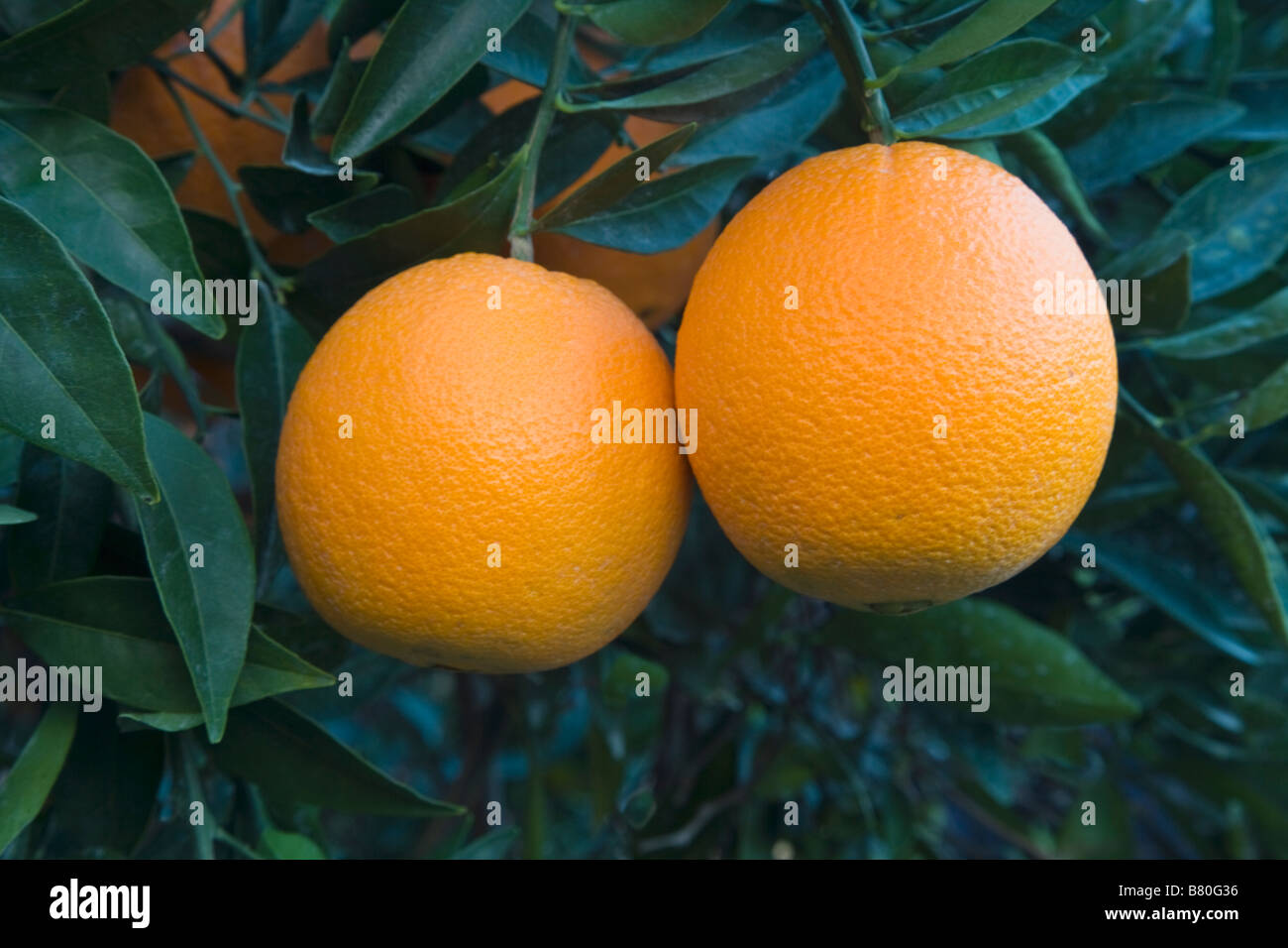 Mature Navel Oranges 'Washington' variety  hanging on branch , - Stock Image