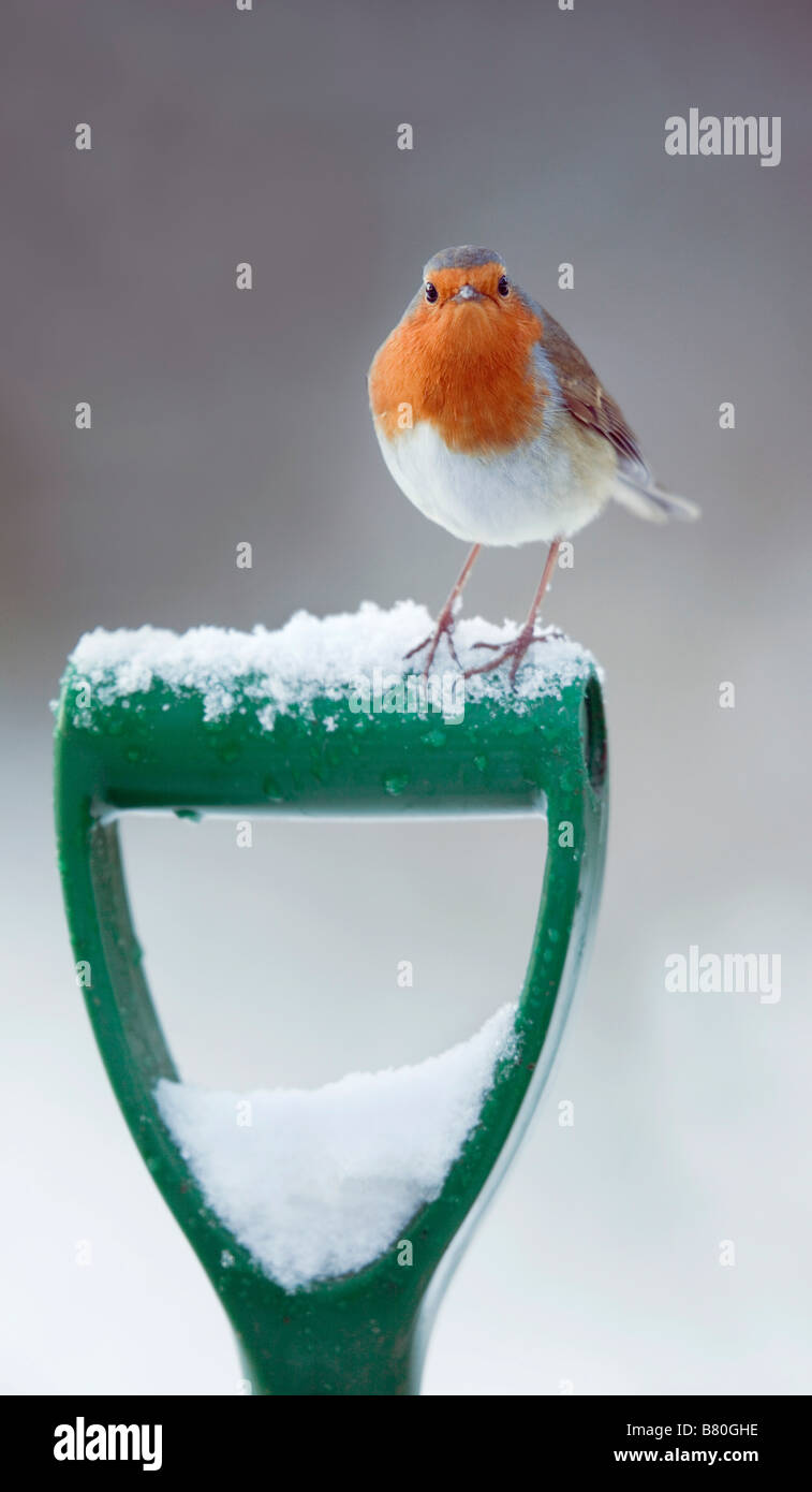 robin Erithacus rubecula on spade in snow - Stock Image