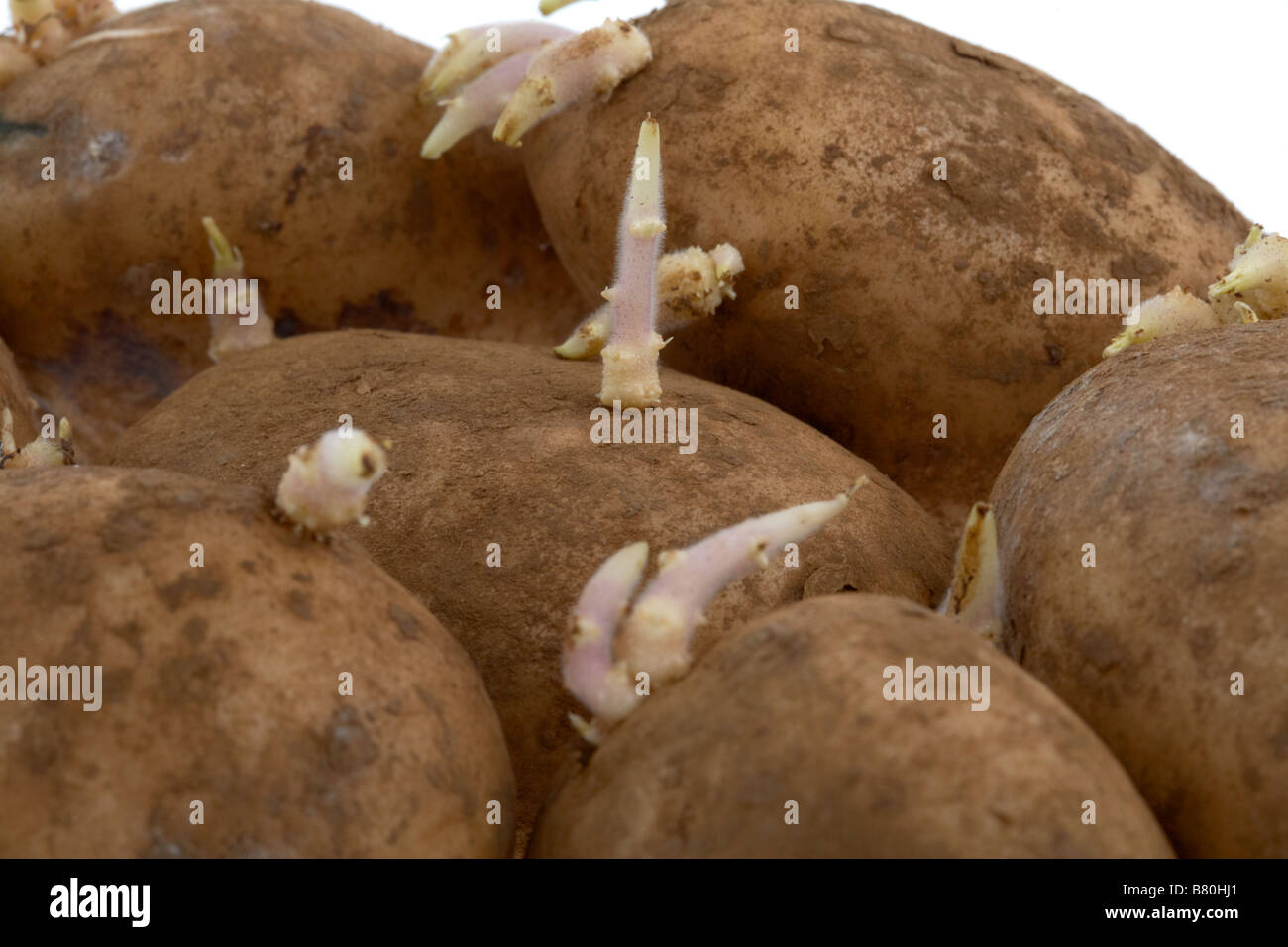 new growth shoots sprouting out of a bunch of potatoes Stock Photo