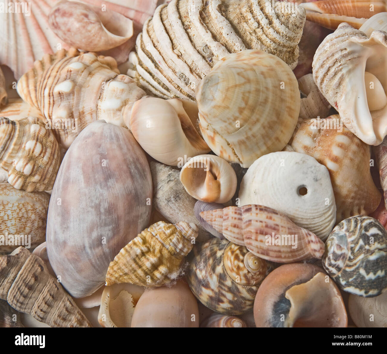 great image of sea shells as a background - Stock Image