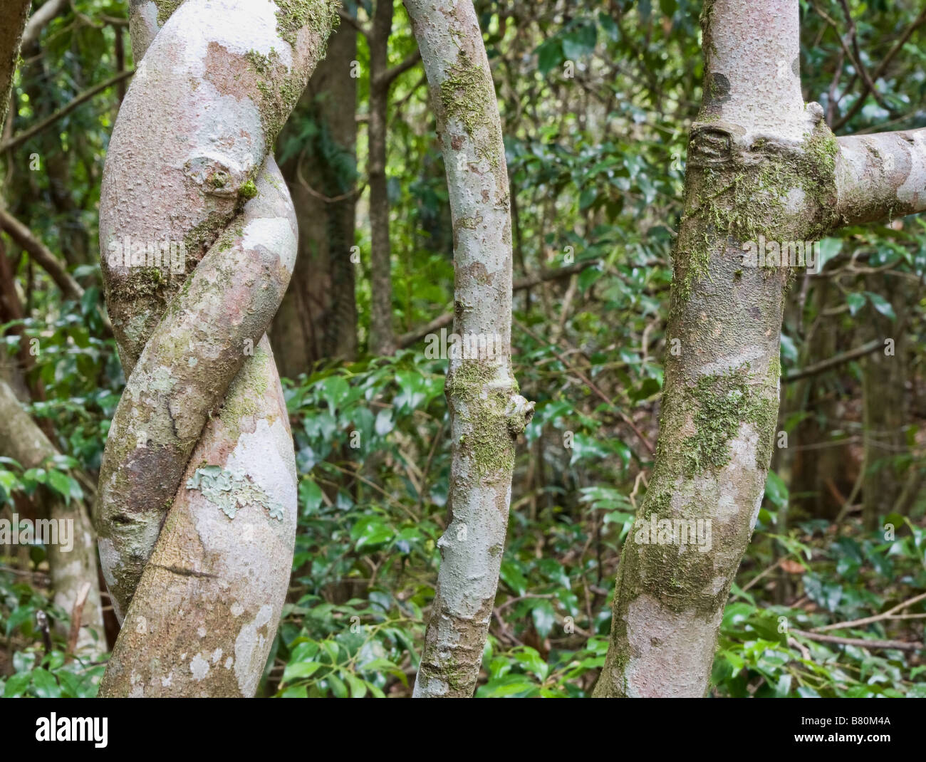 the twists and turns of trees in the rainforest - Stock Image