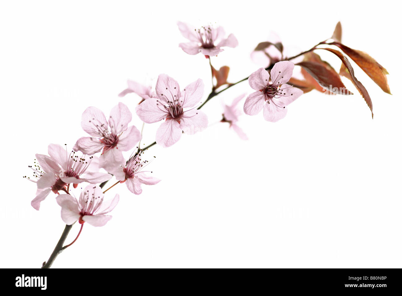 Twig of pink cherry - Stock Image