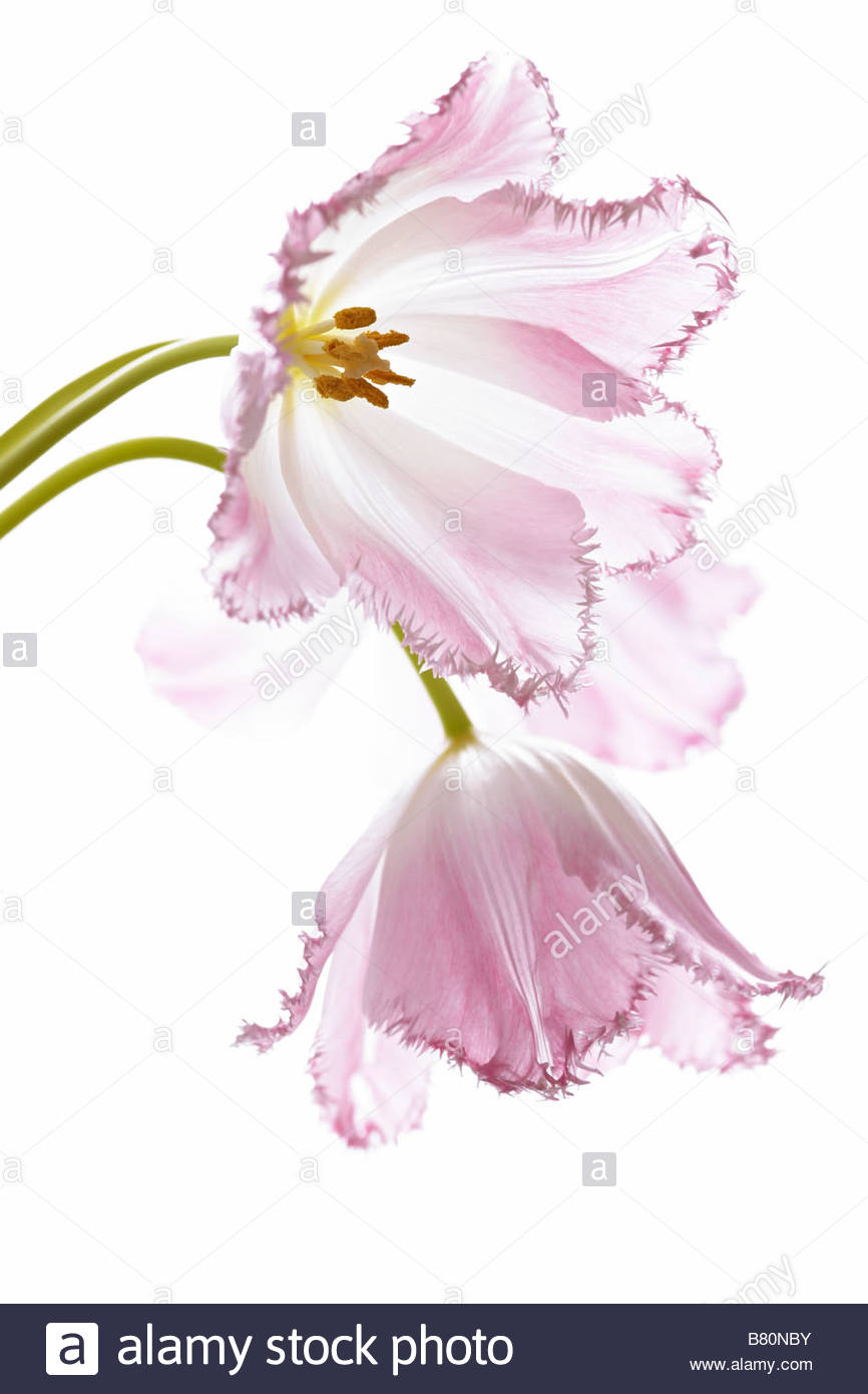 Pink tulip flower heads on white background - Stock Image