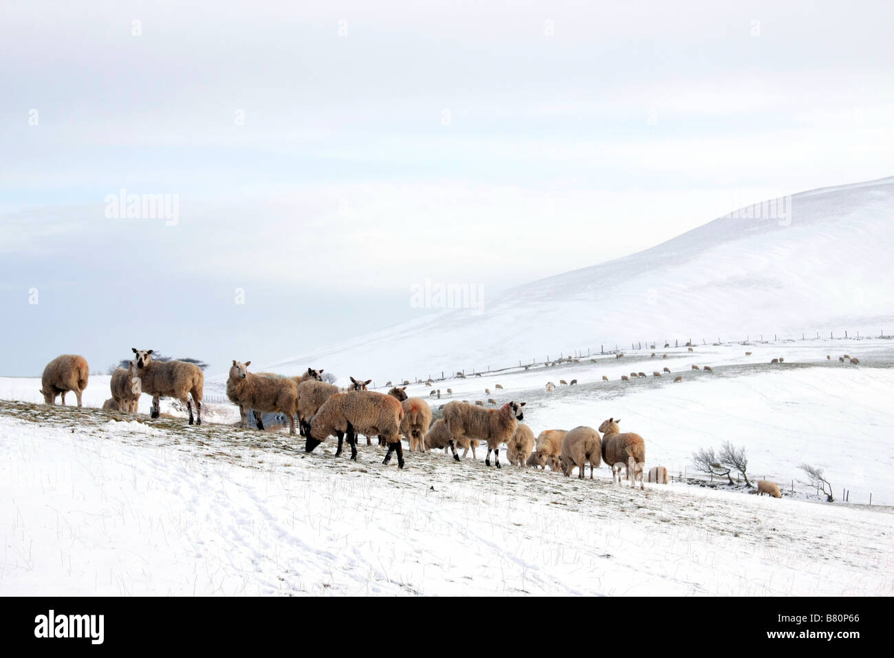 Sheep on a snowy welsh hillside - Stock Image