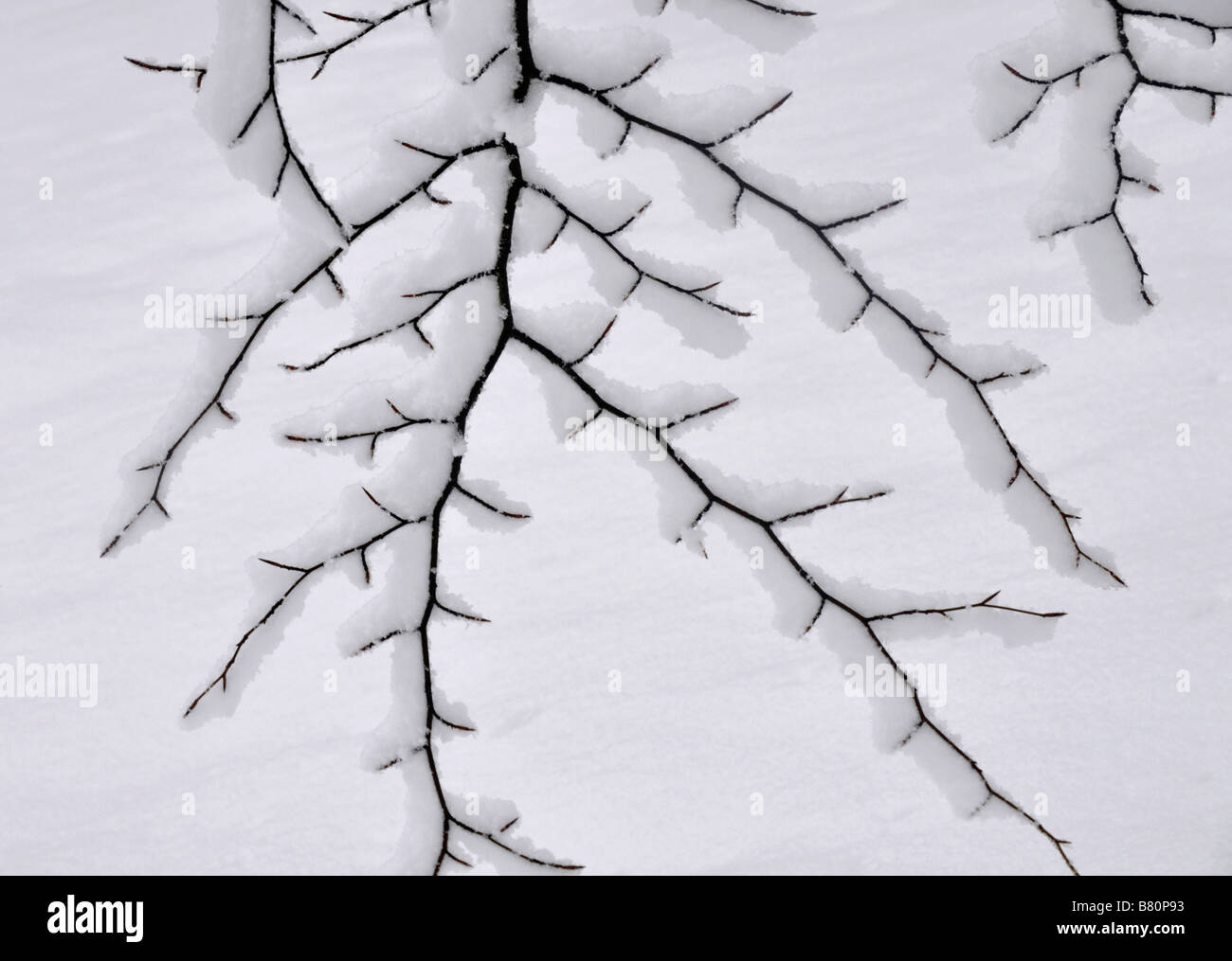 Tree branches in snow Bow Brickhill England - Stock Image