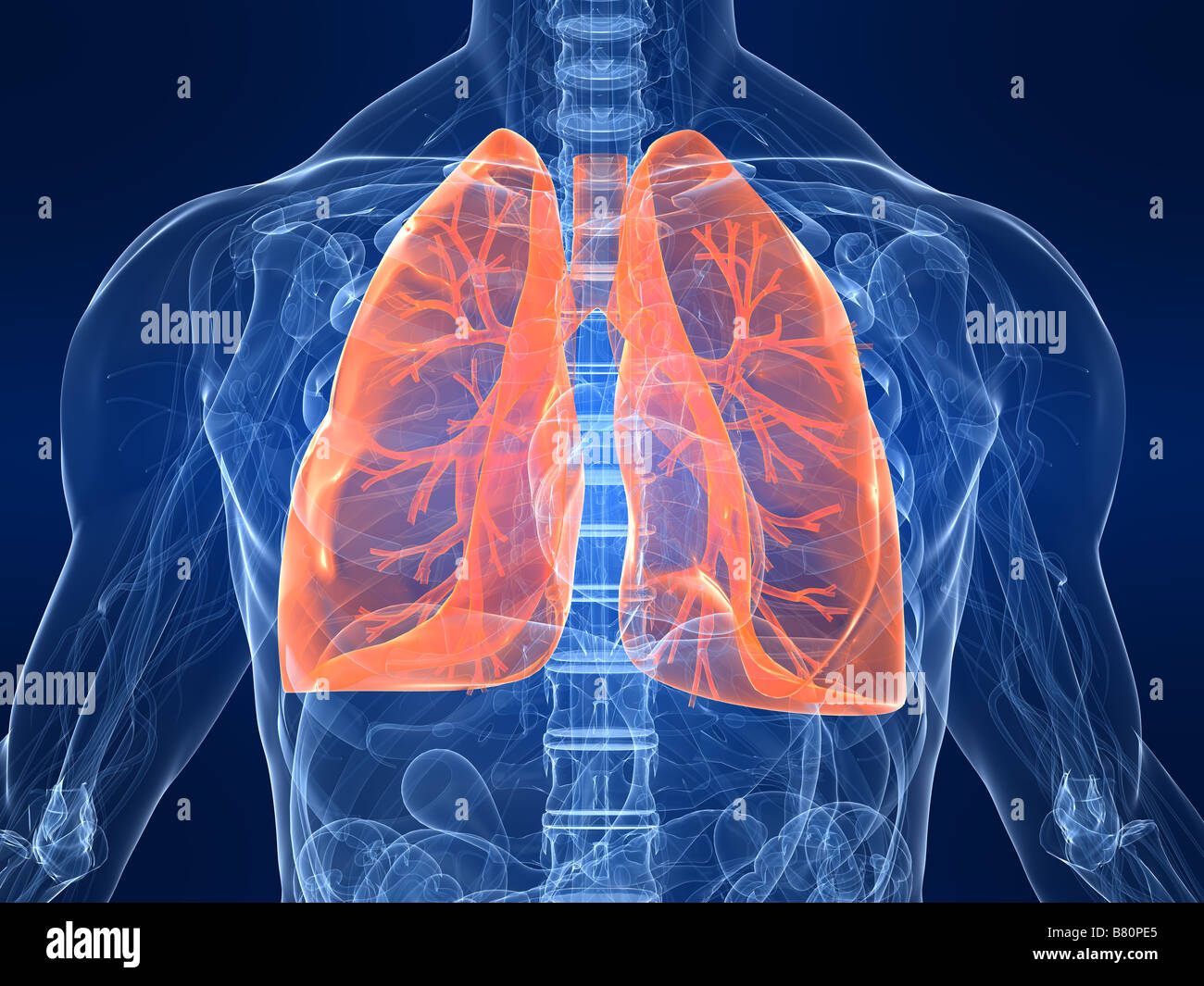 highlighted lung - Stock Image